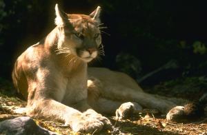 Puma Yosemitie