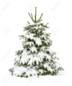 Fir Tree1